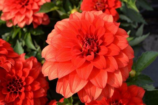 Red, Blossom, Bloom, Red Flower, Flower, Plant