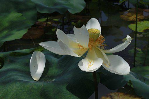 Kite, Lotus, Nature, Flowers, Water Lilies, Plants