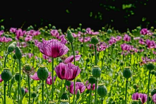Poppy Flower, Poppy Buds, Poppy Capsules