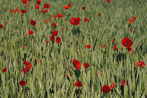 Poppy, Cornfield, Cereals, Field Of Poppies, Nature