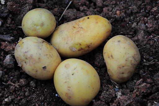 Potato, Potato Pictures, Potatoes, Potatoes Field
