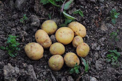 Potato, Potato Pictures, Official Potato, Potatoes