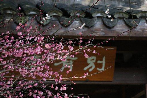 Plum Blossom, Probe Mei, Lingfeng Explore Mei, Hangzhou