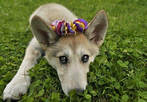 Puppy, Dog, Wolf, Canine, Adorable, Pup, Wolfdog
