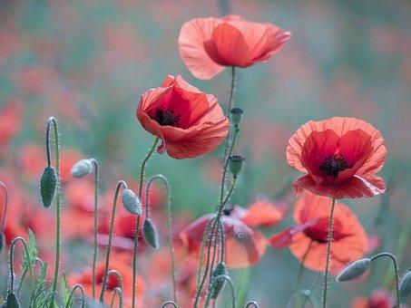Poppy, Klatschmohn, Poppy Flower, Red, Blossom, Bloom
