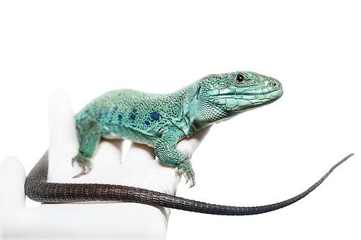 Timon Lepidus, Lacerta, Lizard, Reptile, Male, Green