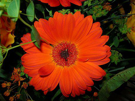 Gerbera, Bloom, Romantic, Colorful, Schnittblume, Close