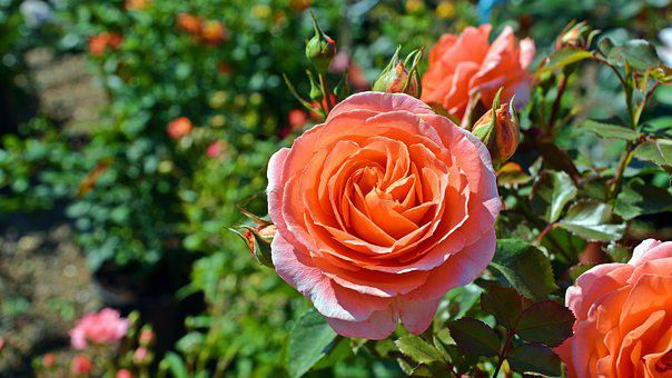 Flower, Rose, Orange Rose, Summer