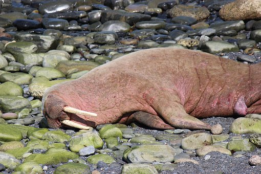 Walrus, Wally, Scotland Wally, Scotland Walrus