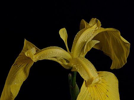 Swamp Iris, Close Up, Macro, Blossom, Bloom, Raindrop