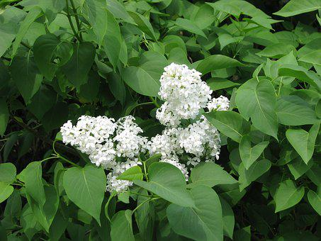 Common Lilac, White Lilac, Syringa Vulgaris