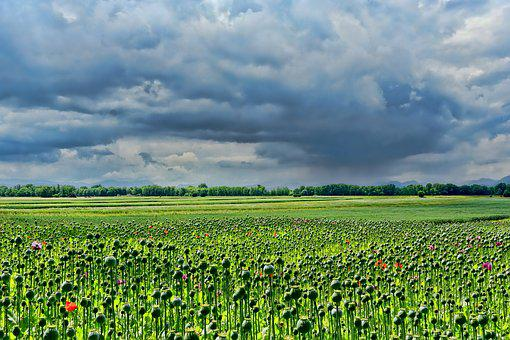 Field Of Poppies, Thriving Mohnfeld, Sky, Clouds