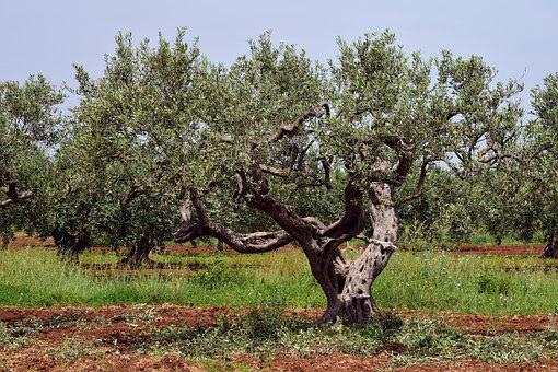 Olive Tree, Old, Tree, Nature, Plant, Green, Oelfrucht