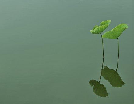 Sen, Leaf, Lake, Hanoi, Vietnam, Green, Summer, Nature