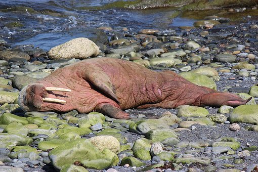 Walrus, Walrus Scotland, Walrus Wick Harbour