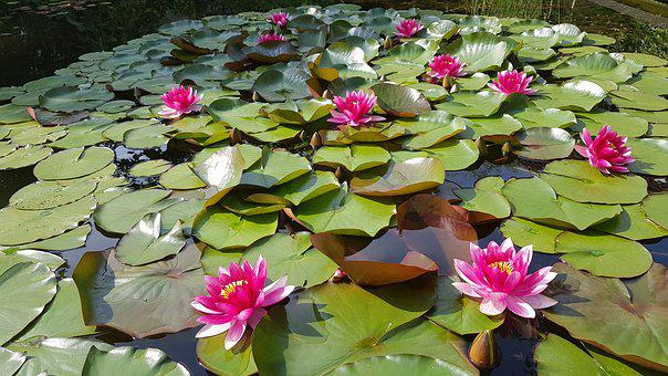 Water Lily, Pond, Pink, Bloom, Water, Nature, Flower