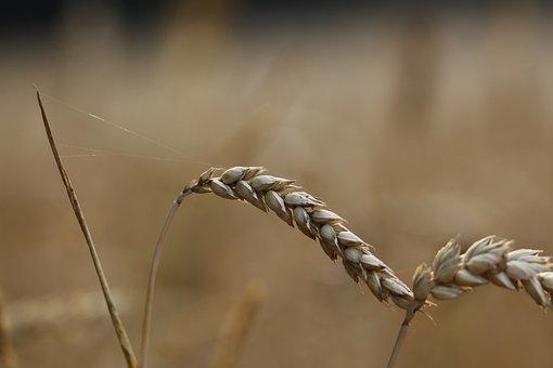 Cornfield, Wheat, Grain, Wheat Field, Cereals