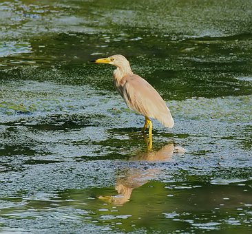 Bird, Wild, Wildlife, Natural, Wetland, Heron, Animal