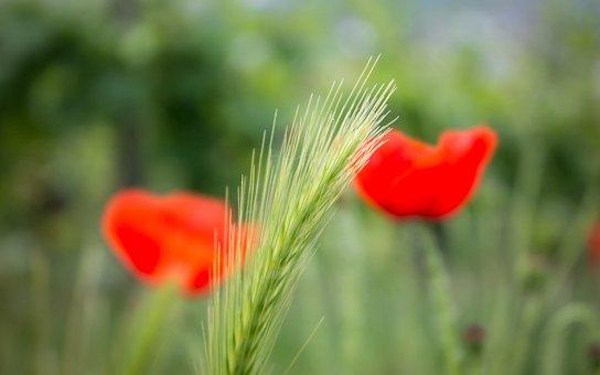 Grasses, Poppy, Grass, Wild Grass, Klatschmohn, Wild