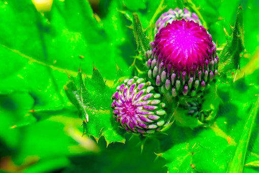 Mountain Thistle, Xie, Plant, Flower, Hua Xie, Bloom