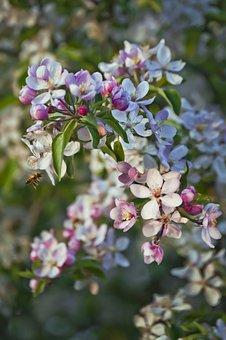 Apple Blossom, Apple, Apple Tree