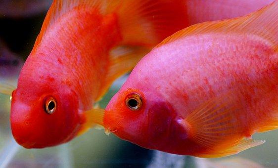 Kančík, Cichlida, Aquarium, Fish, Freshwater, Tropical
