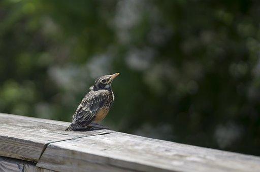 Young Robin, Baby Robin, Bird, Baby Bird, Robin