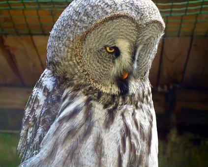 Owl, Barn Owl, Bird, Nature, Bird Of Prey, Raptor