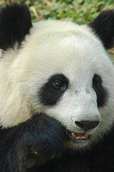 Panda, Cheng-du, Animal, Bamboo, Bear
