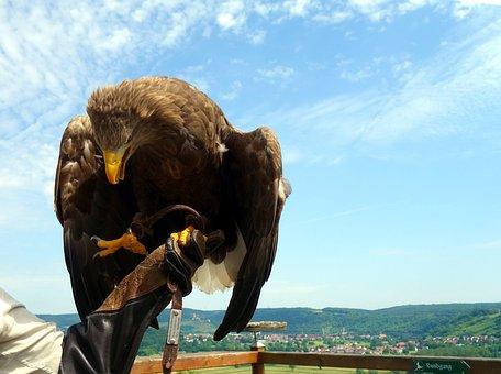 Adler, Bird Of Prey, Raptor, Bird, Bill