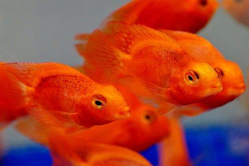 Blood, Red, Parrot, Papoušková, Fish, Aquarium