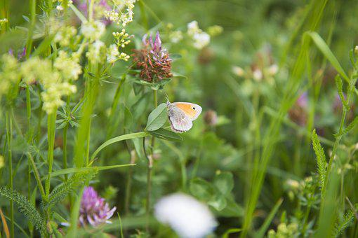 Butterfly, Meadow, Summer, Butterfly Wings, Insect