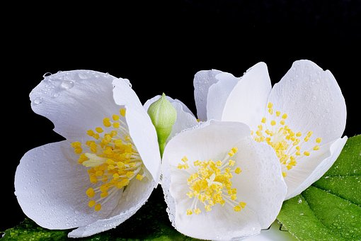 White Flower, White Blossom, Close Up, Spring
