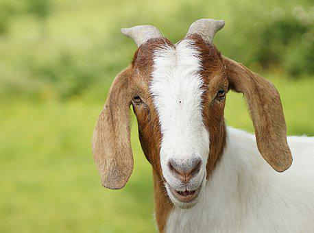 Goat, Close, White, Brown, Horns, Wildlife Photography