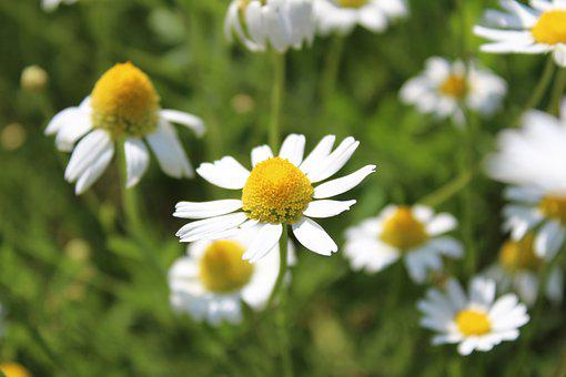 Chamomile, Flower, Meadow, Nature, Village, Closeup