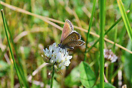 Meadow, Clover White, Butterfly, Nature, Macro