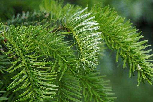 Fir, Green, Tannenzweig, Nature, Prickly, Conifer
