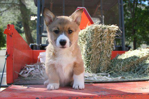 Corgi, Puppy, Portrait, Breed