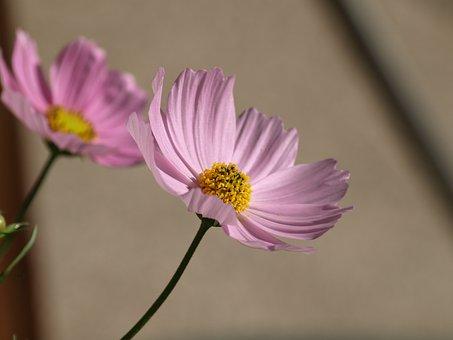 Cosmea, Flower, Blossom, Bloom, Summer, Garden, Pink