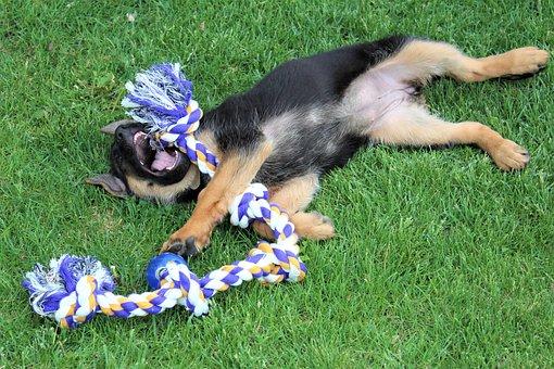 Dog, Puppy, German Shepherd, Animal, Pet, Purebred