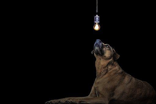 Dog, Idea, Light Bulb, Kangal, Snout, Nose, Eyes