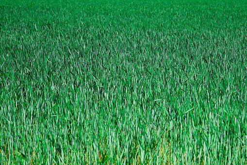 Grain, Cornfield, Field, Arable Farming, Landscape