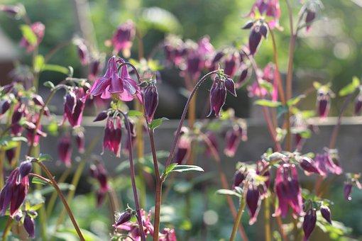 Aquilegia, Grannies Bonnet, Columbine, Flower, Plant