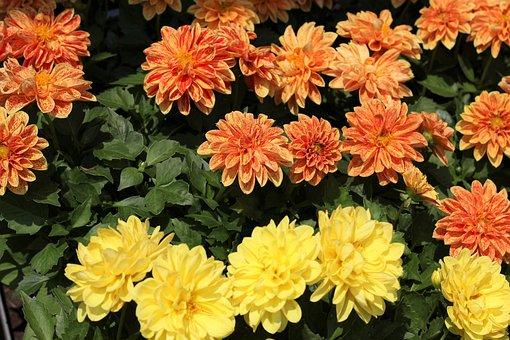 Flower Exhibition, Dahlia, Colorful, Yellow, Orange
