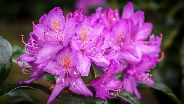 Rhododendron, Pink, Flower