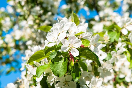 Flowers, Apple Tree, Apple Flower, Apple Blossoms