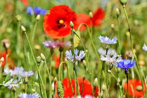 Alpine Cornflower, Cornflowers, Flowers