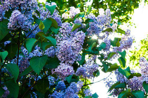 Flowers, Lilac, Lilac Flowers, Lilac Bush, Bloom