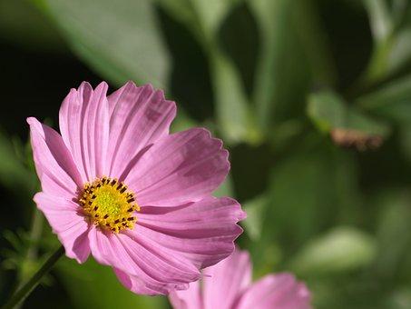 Cosmea, Flower, Summer, Garden, Pink, Nature, Close