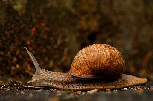 Snail, Garden, Nature, Crawl, Shell, Slowly, Close